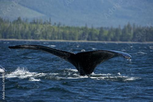 Poster Antarctica Humpaback Whale (Megaptera novaeangliae), Iside Pasage, South West Alaska, USA