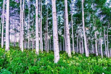 Fototapeta Las aspen grove