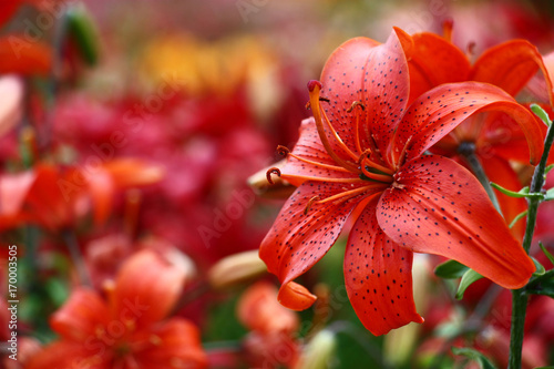 Red lily on a motley background./A considerable quantity of the Asian lilies create a motley background for a bright red lily. - 170003505
