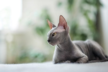 A Beautiful Gray Sphinx Cat Sitting On A White Background.