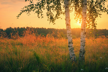 FototapetaBirch trees over sunrise in summer time