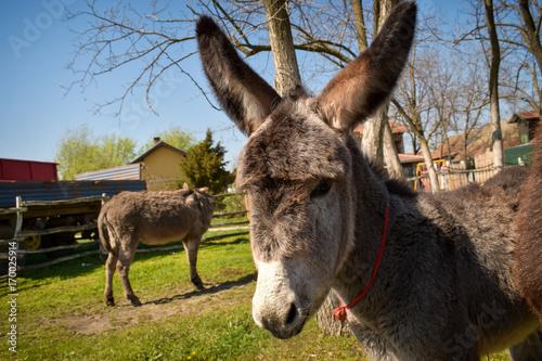 Deurstickers Ezel cute donkeys at fenced farm