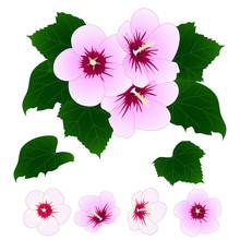 Hibiscus Syriacus - Rose Of Sh...