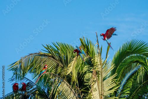 Poster South America Country Grünflügel-Aras (Ara chloropterus) im Tambopata Reservat im Peruanischen Amazonas