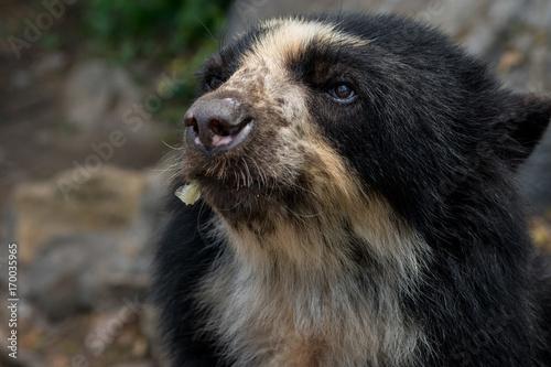 Fotobehang Zuid-Amerika land Brillenbär im Chaparri Reservat