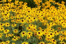 The Black Eyed Susan Flowers I...