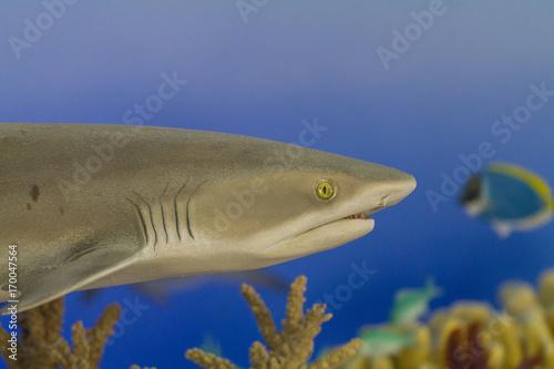 Obraz na dibondzie (fotoboard) Rekin