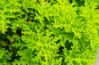 canvas print picture - pelargonium graveolens geraniaceae plant from south africa
