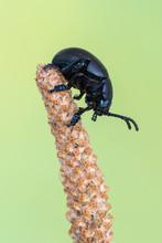 Timarcha Tenebricosa - Bloody-nosed Beetle