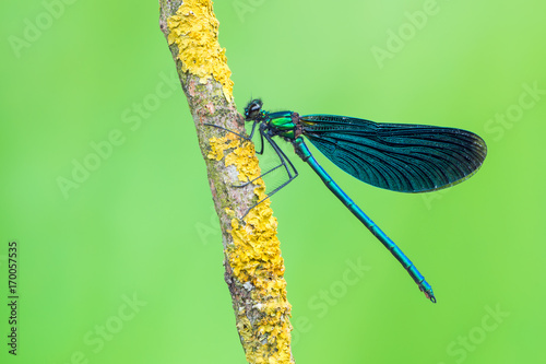 Beautiful Demoiselle -Calopteryx virgo