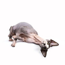 Sphynx Cat Lying Upside Down Isolated On White Background Looking Directly In Camera