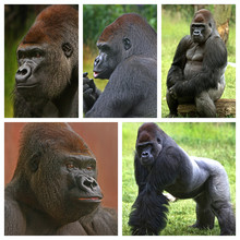 Collage Of A Silverback Wester...