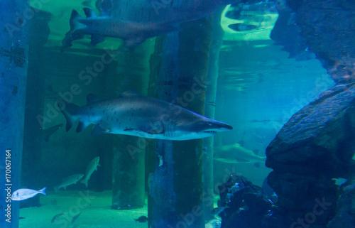 Obraz na dibondzie (fotoboard) zły rekin