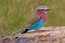Lilac Breasted Roller Perched ...