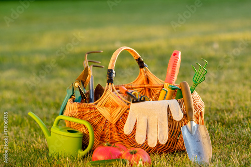 Aluminium Prints Picnic Gardening tools in basket and watering can on grass. Freshly harvested tomatoes, organic food concept.