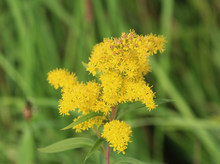 Tall Goldenrod (Solidago Gigan...