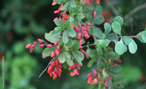 Photo common barberry