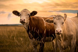 Fototapeta Animals - Cows in sunset
