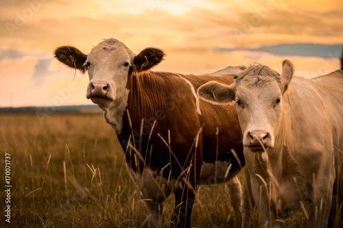 Photo Stands Cow Cows in sunset