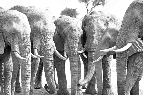 straight line of a herd of elephants at a waterhole with trunks hanging down in Wallpaper Mural