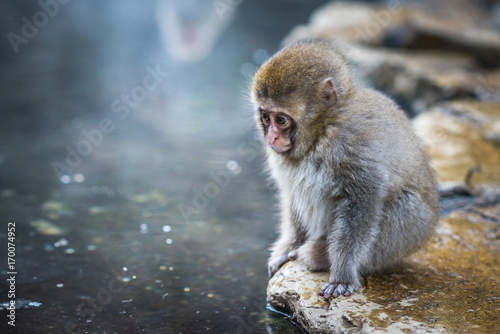 Photo Snow monkey or Japanese Macaque in hot spring onsen