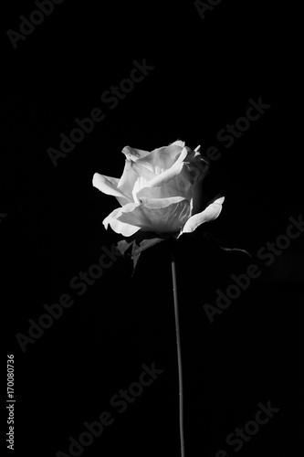 Foto-Lamellenvorhang - rose flower in black and white (von nagritsamon)