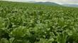 野菜畑 ビート畑