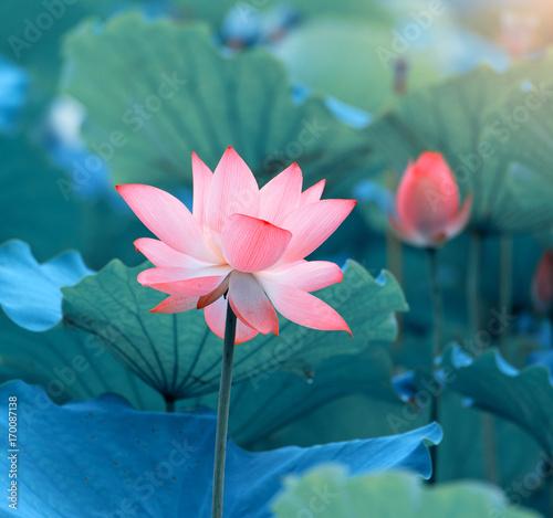 Staande foto Lotusbloem blooming lotus flower