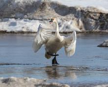 Trumpeter Swan On Ice