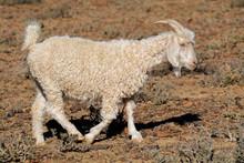 An Angora Goat On A Rural Afri...