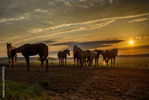 Spoed Foto op Canvas Marokko horses on the field graze at dawn