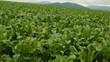 野菜畑 ビート