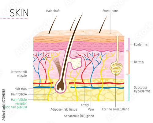 Detailed Diagram Of The Integumentary System - Enthusiast Wiring ...
