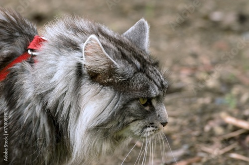 Maine coon cat in the garden Canvas Print