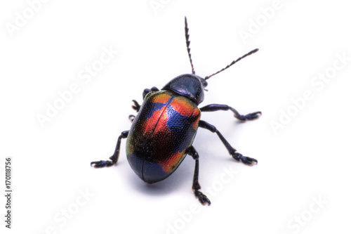 Fotografija Blue Milkweed Beetle; Scientific Name Chrysochus pulcher Baly, isolated on white