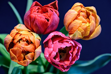 Fototapeta Tulipany Fine art still life colorful macro of a tulip blossom quartet on blue background