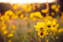 Woodland Sunflowers Growing At...