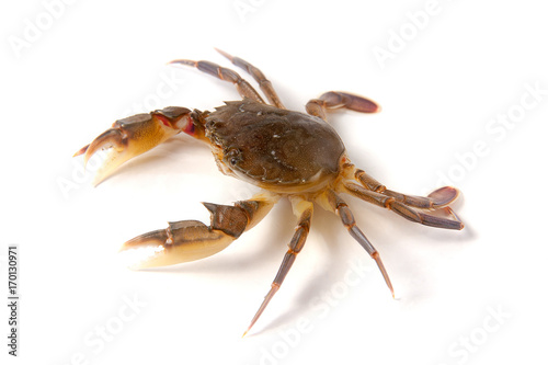 Fotografie, Obraz  edible alive crab isolated on a white background
