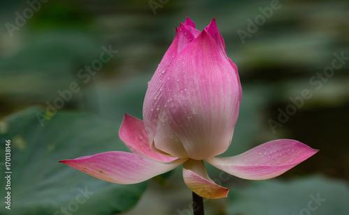 zamkniety-kwiat-lotosu-na-lisciach-unoszacy-sie-na-wodzie