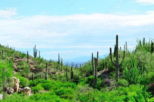 Poster Parc Naturel Saguaro cactus landscape. Saguaro National Park, Arizona.