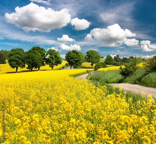Fotobehang Geel Field of rapeseed, canola or colza with rural road