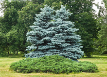 Two Trees Of Blue Spruce In Th...