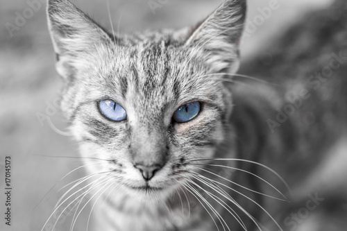 Fototapety, obrazy: portrait of a cat with blue eyes close up