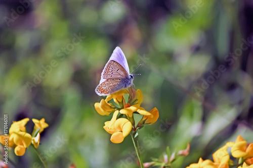 Fotografie, Obraz  Papillon tacheté dans la prairie