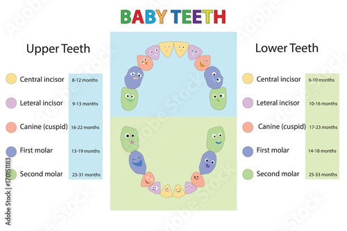 Children Teeth Anatomy Dental Chart Les Of Every Milk Tooth Baby First