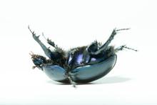 Big Beetle On An Isolated Back...