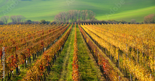 Poster Olive Autumn Colorful Rows Of Grape Vines. Autumn Landscape With Colorful Grape Vineyards Of Czech Republic. Abstract Background Of Autumn Vineyards Rows. Autumn Color Vineyard Landscape. Line and Vine