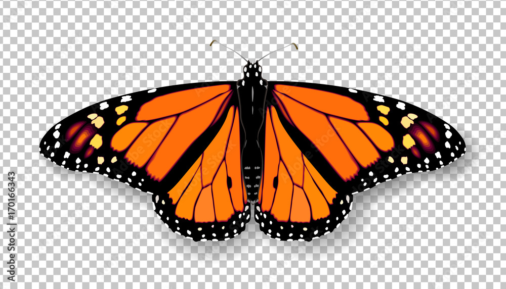 Fototapeta Realistic 3d Monarch butterfly. Colorful bright detailed mesh vector illustration with shadow on transparent background. Spring summer banner decoration