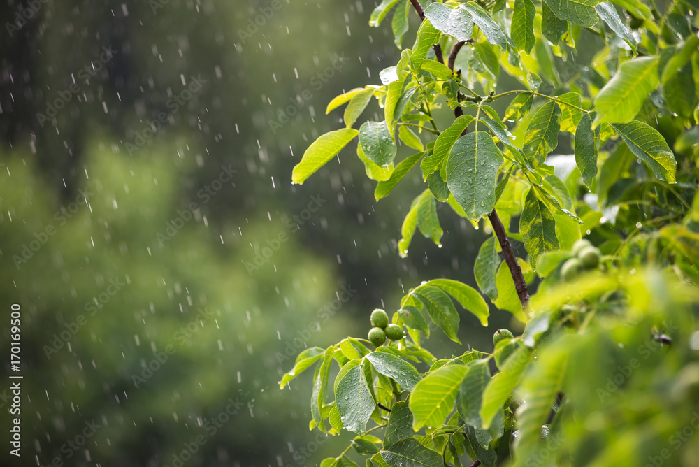 Branch with green leaves in the rain.