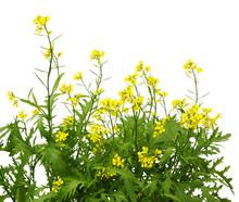 Mustard Plant Flowering. Wild ...